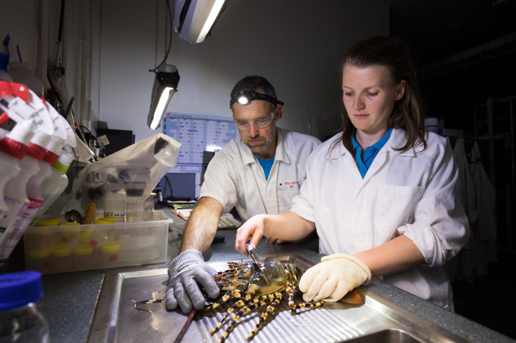 Two scientists from IMAS taking growth measurements of lobsters in Hobart Tasmania